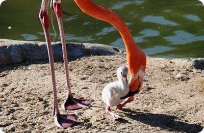 В Московском зоопарке появился птенец фламинго
