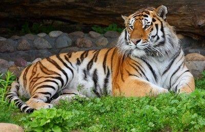29 июля в Московском зоопарке отпразднуют Международный день тигра
