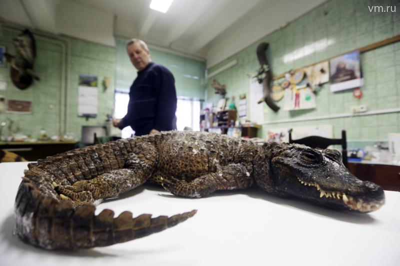 Самого маленького крокодила доставили в Дарвиновский музей