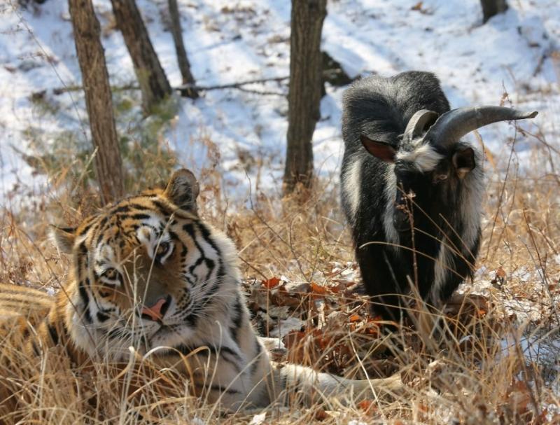 Тигр Амур и козел Тимур временно поживут отдельно