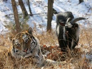 Козел Тимур стал соседом тигра Амура
