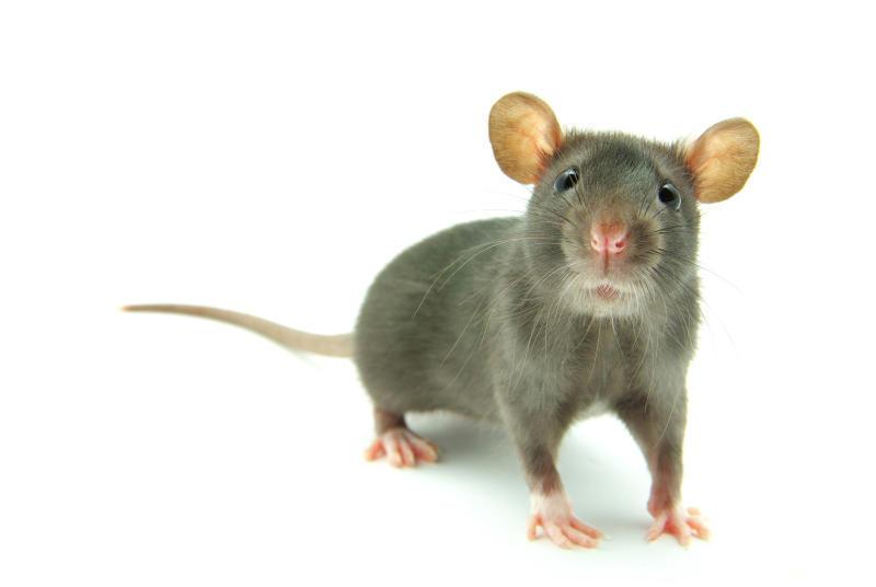 Роспотребнадзор: Держитесь подальше от крыс
