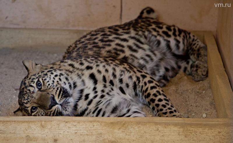 Попавший в браконьерскую ловушку дальневосточный леопард вылетел в Москву из Приморья