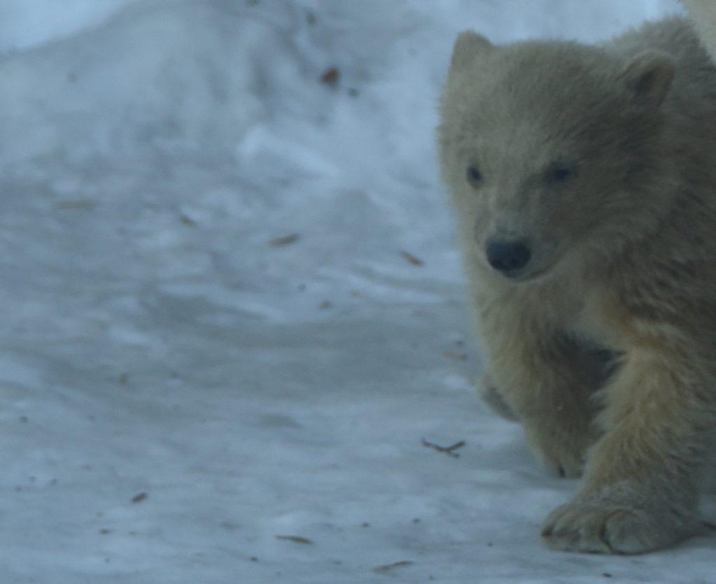 Военные доставили белого медвежонка-сироту в Московский зоопарк