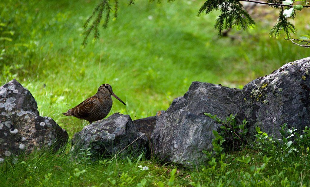 Крик совы из чащи леса