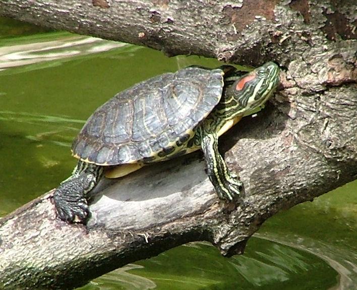 Американские красноухие черепахи вытесняют московских из реки Яуза
