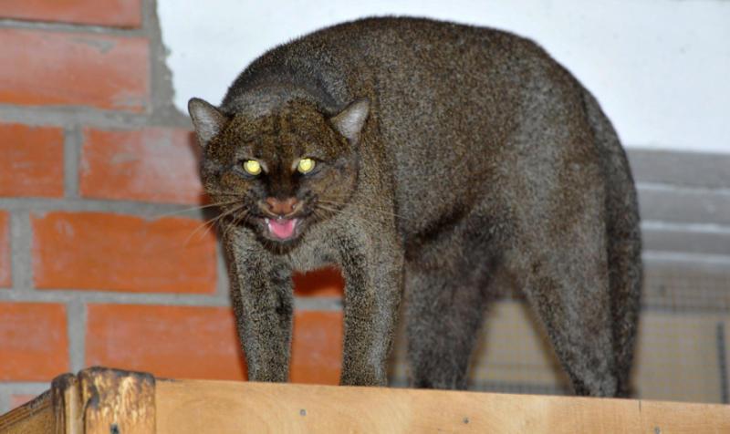 Домашних кошек индейцев привезли в Московский зоопарк