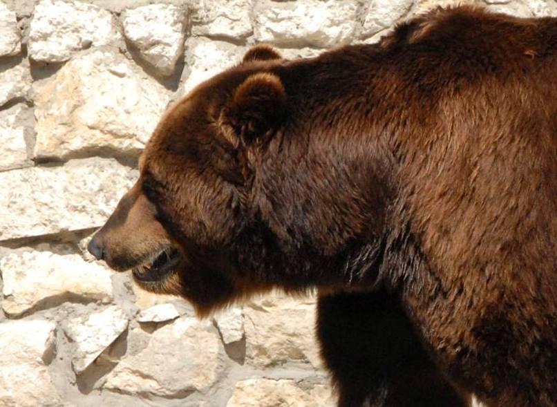 Медведи Московского зоопарка впадают в спячку из-за ранней зимы