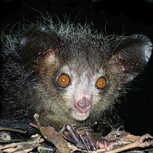 Ай-ай. Фото: Википедия