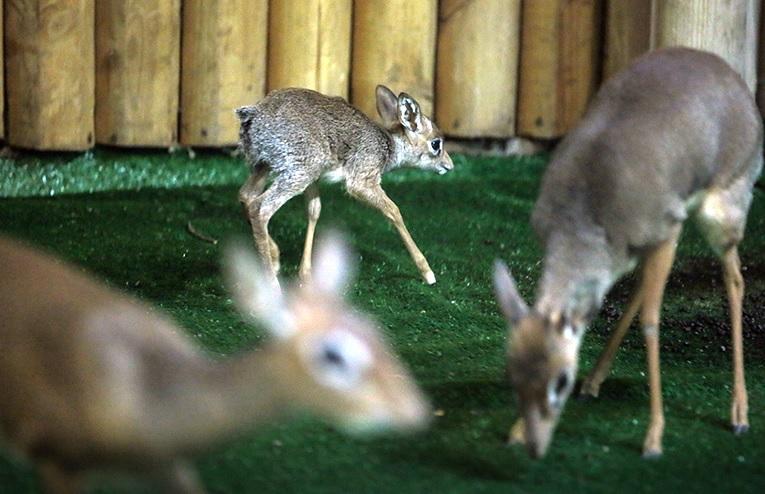 В Московском зоопарке родился детеныш мини-антилопы дикдик