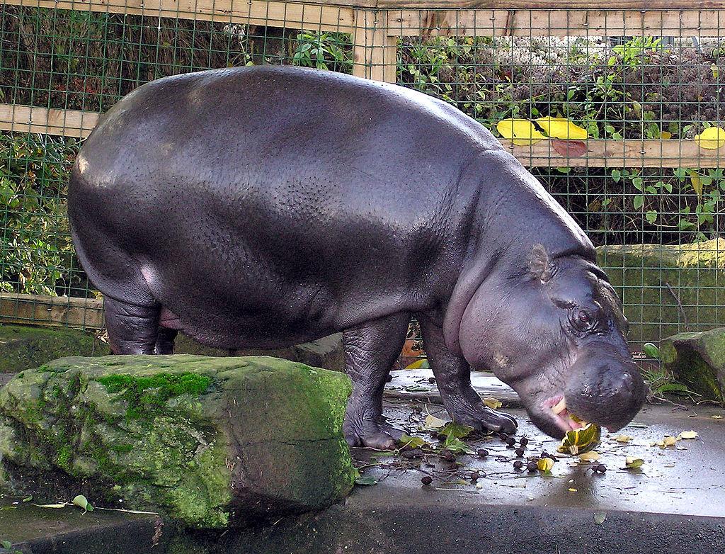 Карликовый бегемот поселится в Московском зоопарке