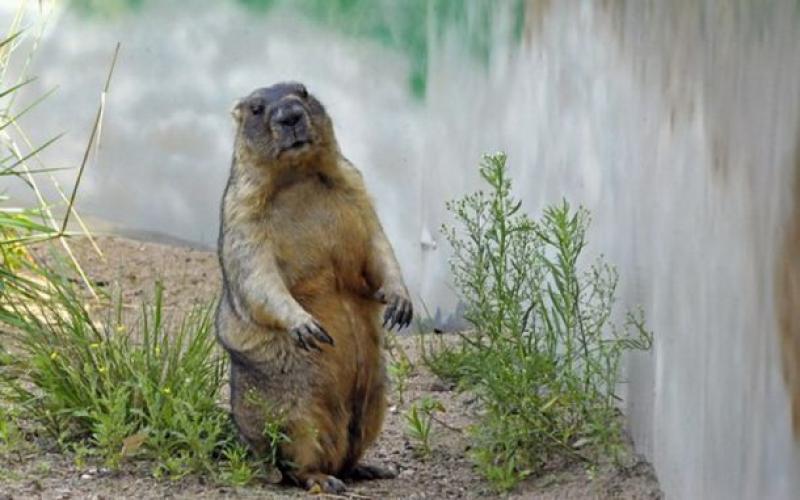 Сурок из Московского зоопарка проспит День сурка