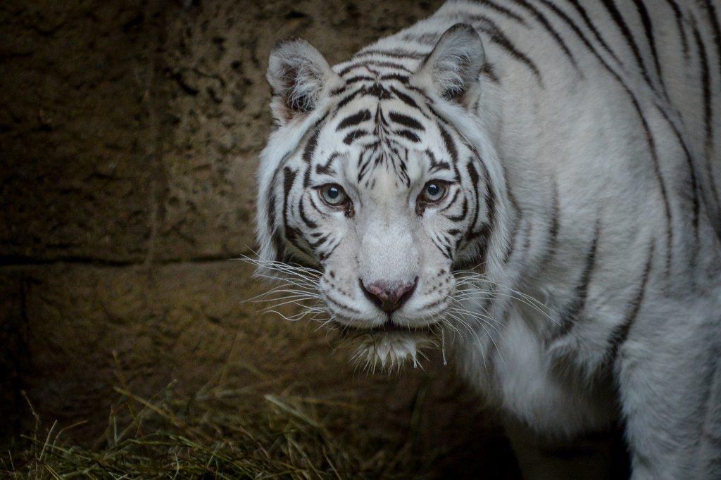 Московский зоопарк «выпустит» тигра и манула в День кошек