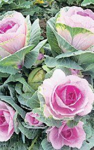 Эту декоративную капусту легко перепутать с розой — листья точно лепестки благородного цветка. Подойдет для одного из модных трендов — овощного букета. Сорта: «Цапля биколор», «Русский круг», «Сансет»