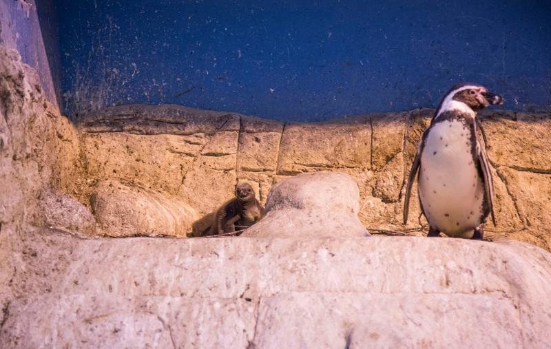 Птенцы редких пингвинов появились в зоопарке в Москве
