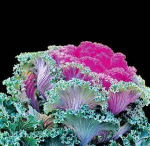 Эта красавица напоминает бабушкино кружево или яркий платок ручной работы — листья капусты как будто связаны из шерсти. Сорта: «Бордовое кружево», «Кружевная мозаика», «Нагойя»