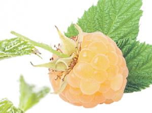 «АБРИКОСОВАЯ». Один из главных плюсов этого сорта — ремонтантность, то есть малина будет радовать вас своими ягодками все лето и до первых заморозков. Куст компактный, нераскидистый, почти не разрастается. Ягоды до 7 г, нежного желтого цвета и приятного аромата. Этот сорт гипоаллергенный — ягоду можно смело давать детям. «Абрикосовая» малина устойчива к морозам и превосходно растет по всей территории нашей страны.
