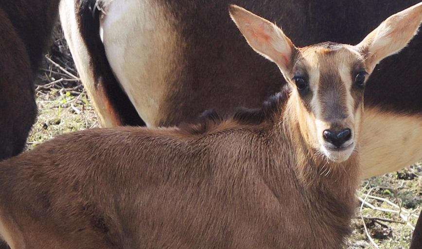 Детеныш редчайшей черной антилопы родился в Московском зоопарке