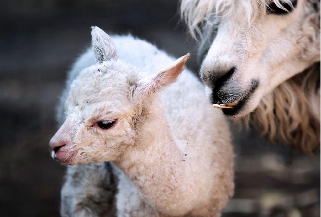 Первый детеныш альпаки родился в Московском зоопарке