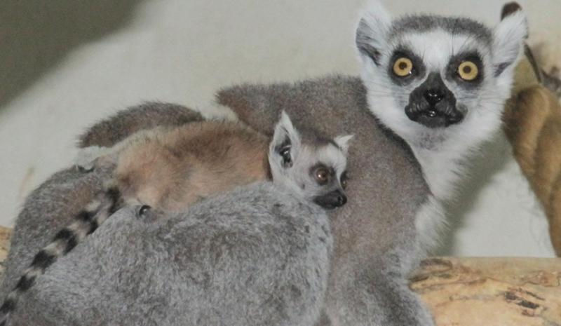 Детеныш кошачьего лемура появился в Московском зоопарке