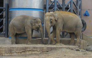 Большую часть времени слоненок проводит с мамой. Фото: Пресс-служба Московского зоопарка
