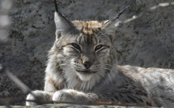 Три детеныша европейской рыси родились в Московском зоопарке