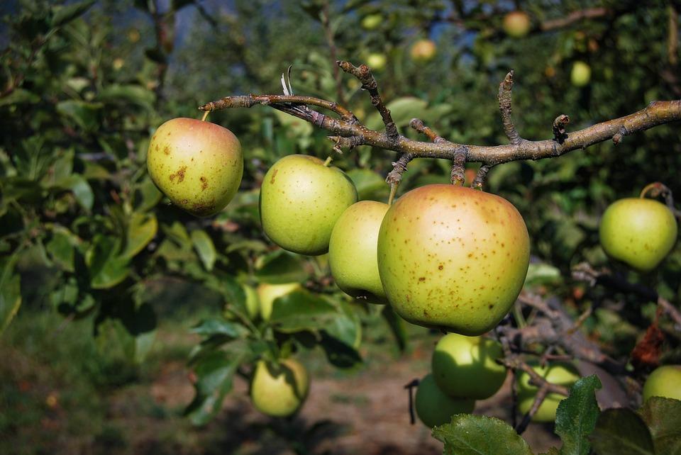 Царицынское яблочко: Музей-заповедник организует прогулку по фруктовым садам