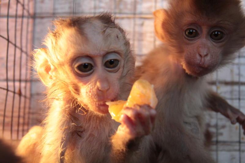 Первый клон обезьяны появился в Китае