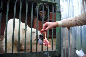 Некоторых млекопитающих Московского зоопарка стали больше кормить из-за установившихся морозов. Фото: Светлана Колоскова