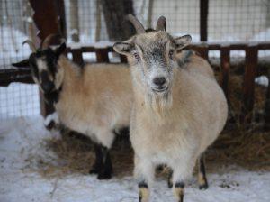 На «Городской ферме» на ВДНХ родились четверо козлят и трое ягнят. Фото: Александр Кожохин