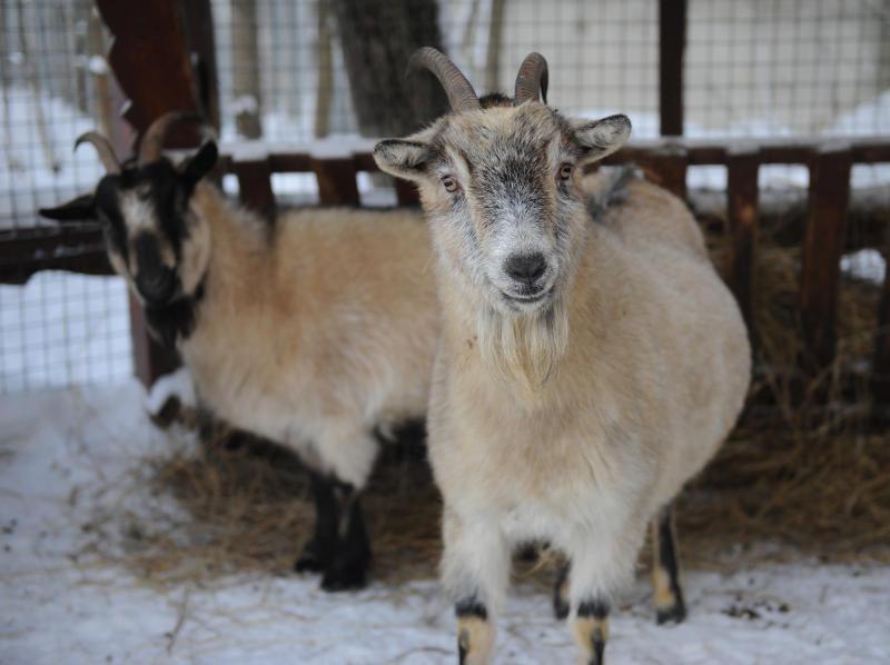 На «Городской ферме» на ВДНХ родились козлята и ягнята