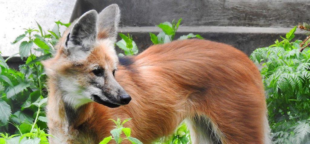 Мадагаскарские фоссы и птица-секретарь появятся в Московском зоопарке