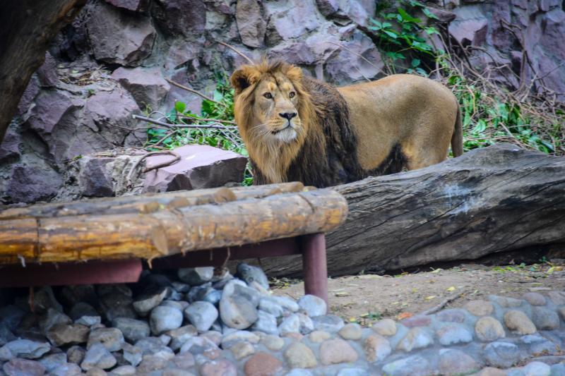 Найденному в Бирюлеве Западном льву Лемику нашли пару в Абакане