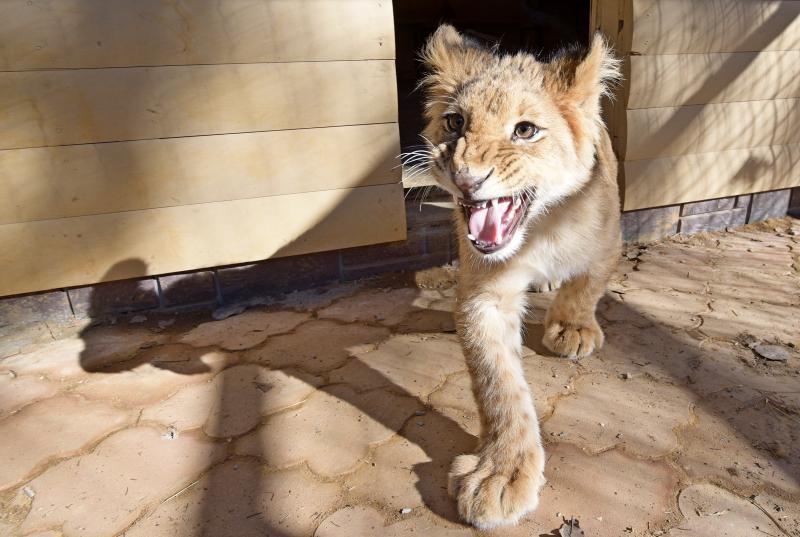 Найденного в промзоне Южного округа льва передадут Абаканскому зоопарку