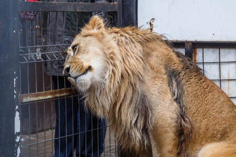 Сбежавших из зоопарка тигров и льва обнаружили в лесу