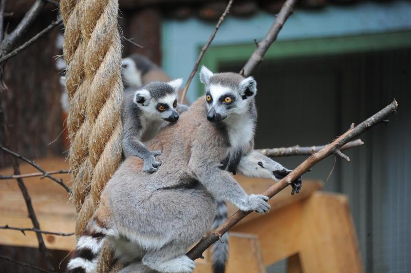 Лемурам Мадагаскара предрекли полное вымирание