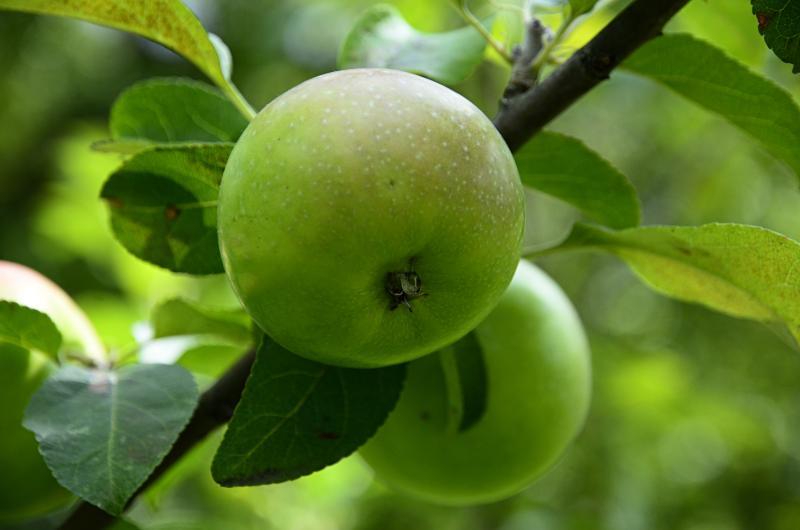 Празднование Яблочного спаса организует Дом культуры «Маяк»