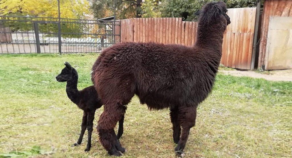 Московский зоопарк сообщил о пополнении в семействе альпака