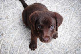 Лабрадоры шоколадного окраса живут гораздо меньше своих собратьев. Фото: pixabay.com