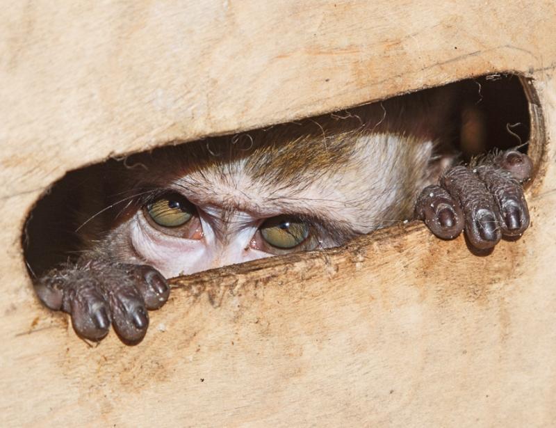 Агрессию, как правило, проявляли еноты, лисы, обезьяны и мелкие грызуны. Фото: Михаил Подобед, «Вечерняя Москва»