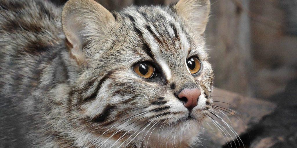 Московский зоопарк получил амурского лесного кота впервые со времен СССР