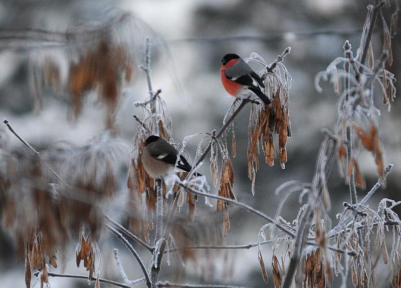 Жителям юга предложили смастерить снегирей из цветной пряжи. Фото: Александр Кожохин, «Вечерняя Москва»