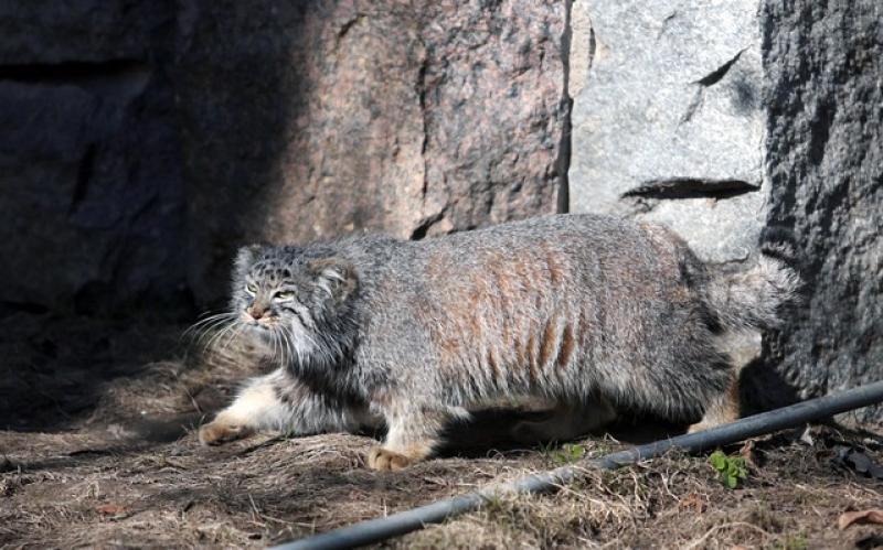 Более 30 лет манул был символом и талисманом Московского зоопарка. Фото: Анна Иванцова