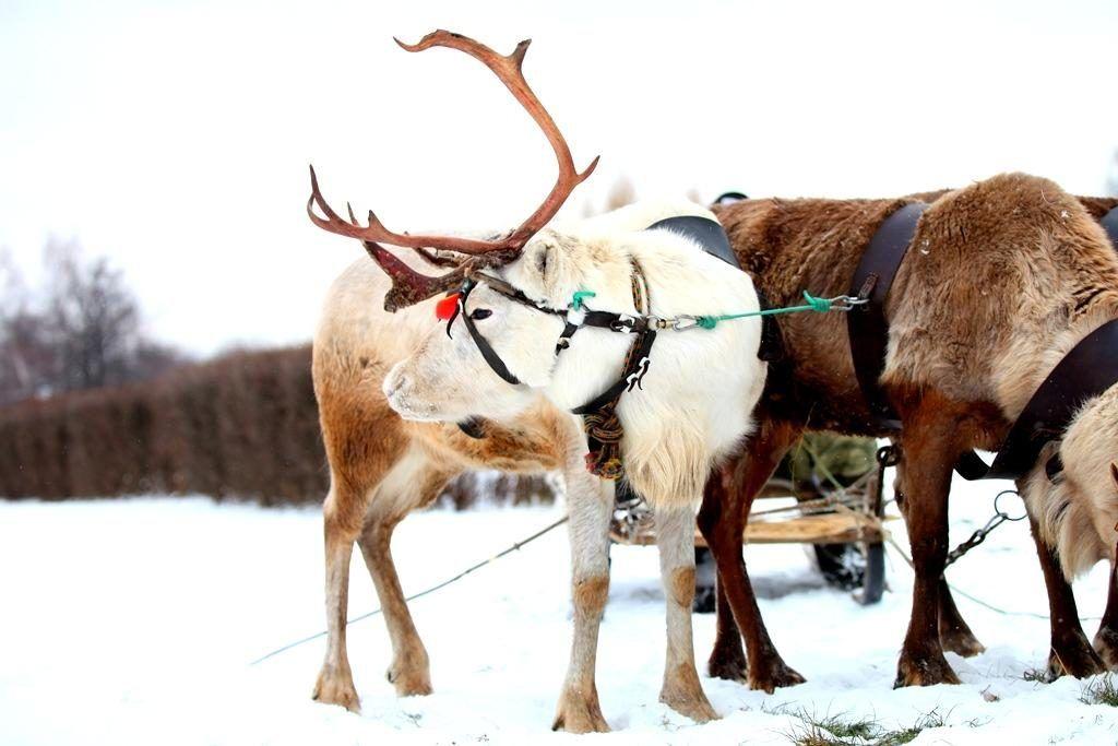 В Царицыно можно покататься на санях с оленями Фото: пресс-служба музея-заповедника «Царицыно»