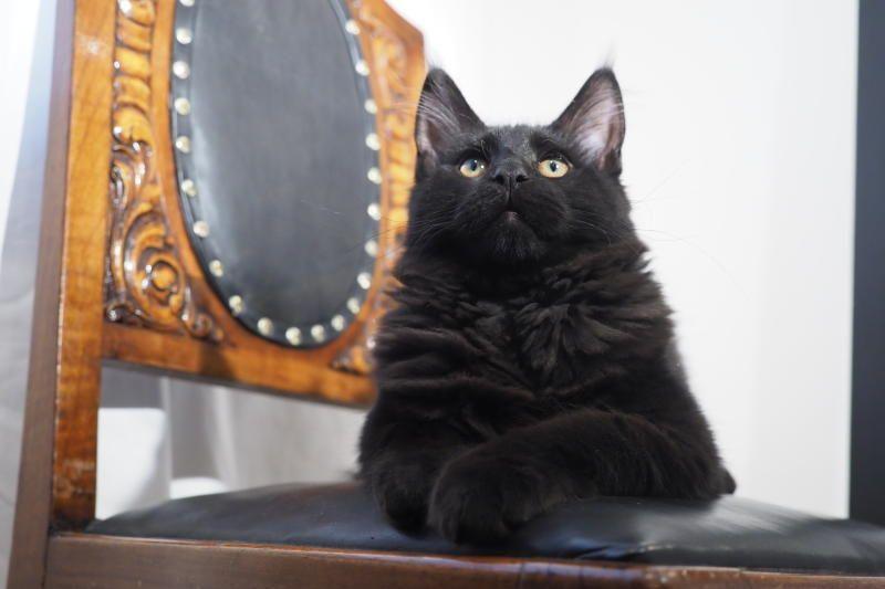 Мейн-куны и сфинксы признаны самыми популярными кошками в Москве