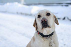 Лабрадоры стали самой популярной породой собак в Москве.Фото: архив «Вечерняя Москва»