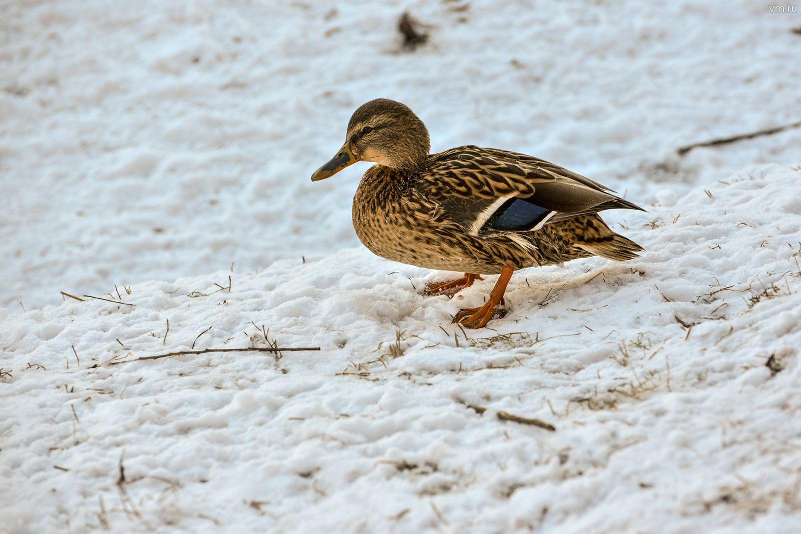 Свыше 32 тысяч водоплавающих птиц провели зиму в Москве