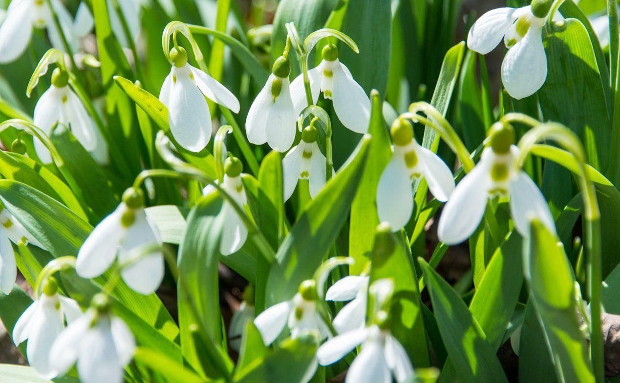 Подснежники и хохлатка: где на юге искать цветы