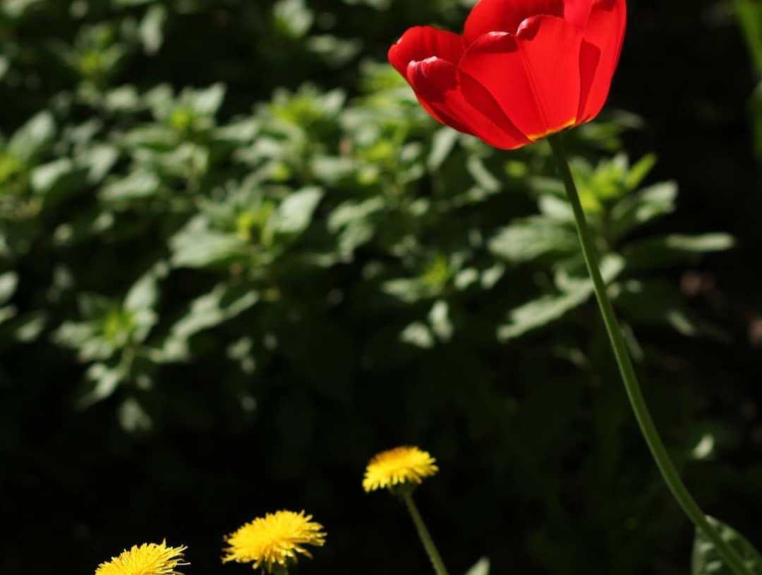 Народный корреспондент отметил красоту весенних тюльпанов