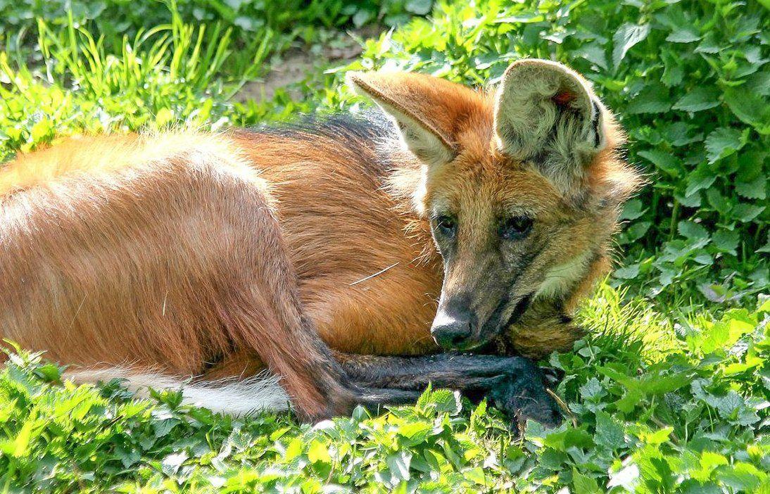 Гривистого волка Фалькао привели в Московский зоопарк